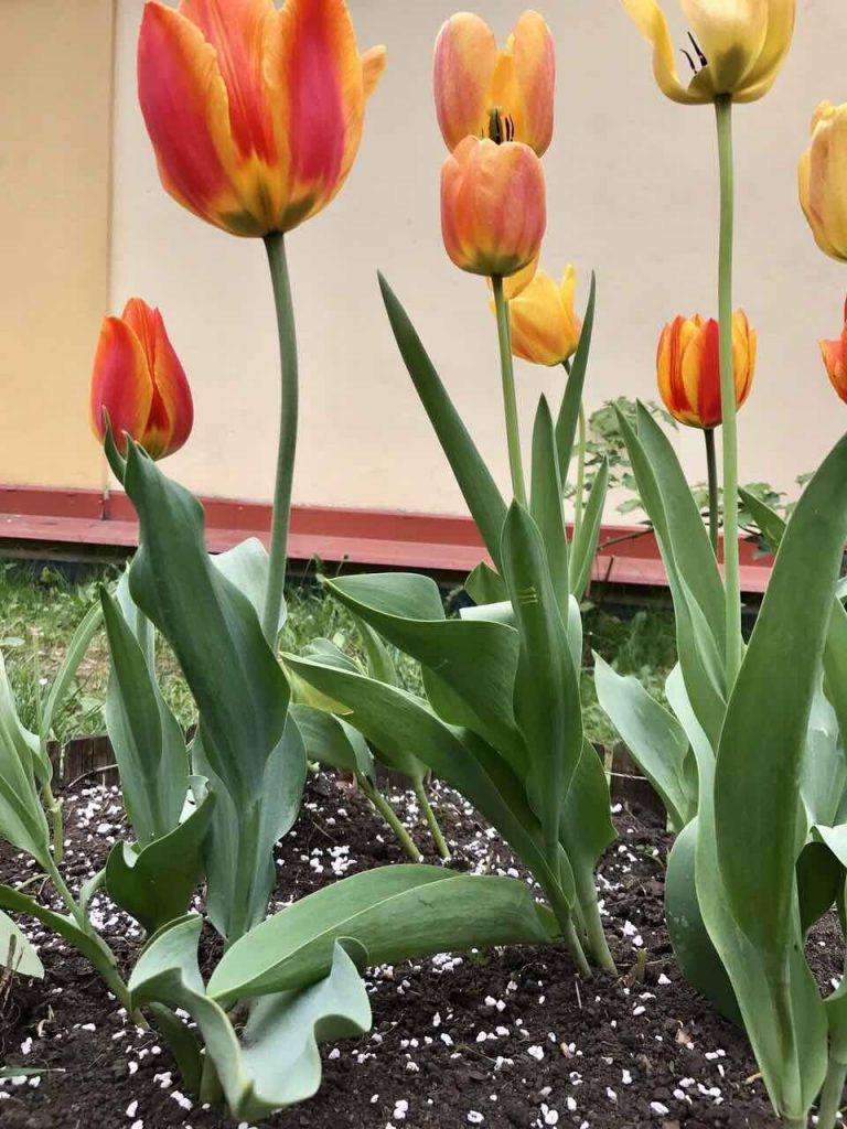 a kerteszeti perlitet disznövényeknél növényvédők vagy tápanyagok hordozójaként használhatjuk