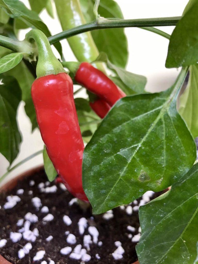 A kertészeti perlittel a zöldségtermesztés is eredményesebb